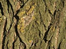 Кора дерева тополя Стоковая Фотография RF