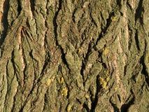 Кора дерева тополя Стоковое Изображение RF