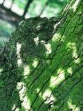 Кора дерева в лесе в юго-западной Польше Стоковые Изображения RF