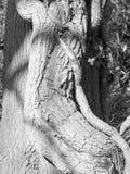 Кора дерева в черно-белом в лесе Стоковые Изображения RF