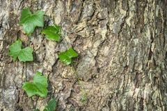 Кора дерева и плющ Стоковое Фото