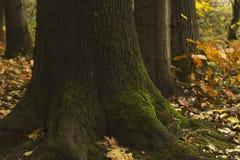 Кора дерева с зеленым мхом в лесе Стоковое фото RF