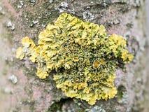 Кора дерева с мхом и лишайниками Стоковая Фотография RF