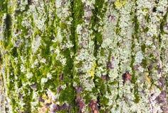 Кора дерева с мхом и лишайниками Стоковое фото RF