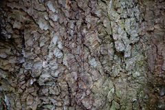 Кора дерева явора Стоковые Изображения