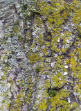 Кора дерева для предпосылок Стоковые Изображения