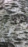 Кора дерева Burch Стоковое Изображение RF