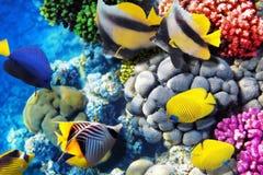 Коралл и рыбы в Красном Море. Египет, Африка. Стоковые Изображения RF