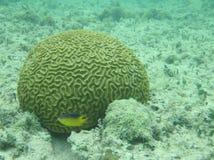 Коралл мозга и малые рыбы Стоковые Фотографии RF