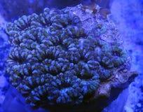Коралл мозга Acanthastrea Стоковые Фото