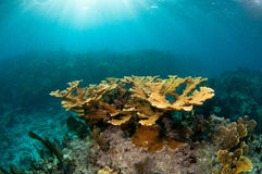 Коралл на рифе мелассы, ключевой Largo Elkhorn, ключи Флориды Стоковая Фотография RF