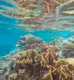 Коралловый риф в тропическом море Желтый и коричневый коралл с рыбами коралла Стоковая Фотография RF
