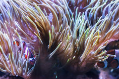 Коралловый риф рыб клоуна Стоковое фото RF