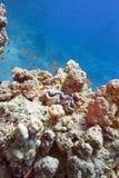 Коралловый риф с кораллами porites и tridacna на дне тропического моря на предпосылке открытого моря Стоковые Изображения RF