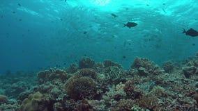 Коралловый риф с школой trevallies крупно-глаза 4K видеоматериал