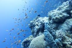 Коралловый риф с anthias рыб в тропическом море на больших глубинах Стоковые Фотографии RF