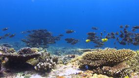 Коралловый риф с Striped лещами Больш-глаза 4K сток-видео