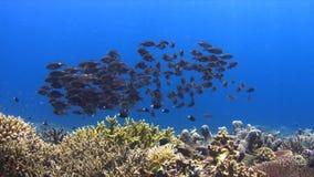Коралловый риф с Striped лещами Больш-глаза 4K видеоматериал