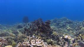 Коралловый риф с Striped лещами Больш-глаза 4K акции видеоматериалы
