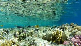 Коралловый риф, тропическая рыба, глубина 1 m чистая вода Красного Моря видеоматериал