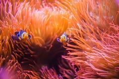 Коралловый риф Clownfish Стоковое Изображение RF