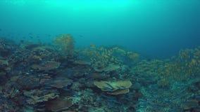 коралловый риф 4k с Goatfishes желтопёр и Striped лещами Больш-глаза сток-видео