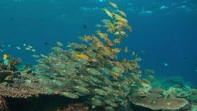 коралловый риф 4k с Goatfishes желтопёр и Striped лещами Больш-глаза акции видеоматериалы