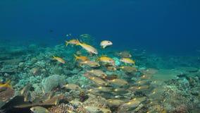 коралловый риф 4k с Goatfishes желтопёр и Striped лещами Больш-глаза видеоматериал