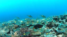 коралловый риф 4k с Striped лещами Больш-глаза сток-видео