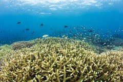 Коралловый риф Staghorn Стоковые Фото