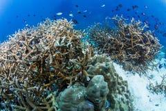 Коралловый риф Staghorn Стоковое Фото