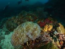 Коралл пузыря и мягкое cora Стоковое фото RF