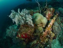 Коралл пузыря и мягкое cora Стоковые Фото