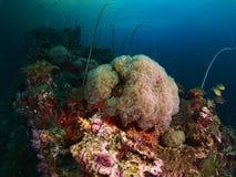 Коралл пузыря и мягкое cora Стоковая Фотография RF