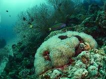 Коралл пузыря и мягкое cora Стоковая Фотография
