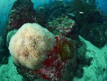 Коралл пузыря и мягкое cora Стоковые Фотографии RF