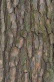 Кора старых сосен стоковые изображения rf