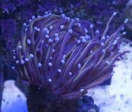 Коралл факела золота Стоковое Изображение