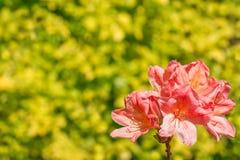 Коралл цветка рододендрона Стоковая Фотография RF
