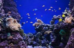 Кораллы и рыбы клоуна Стоковые Изображения RF