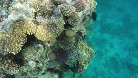 Кораллы и рыбы на рифах сток-видео