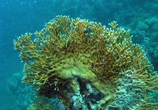 Кораллы огня на рифе Красного Моря Стоковое Изображение