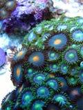 Кораллы полипа зеленого цвета Zooanthid Стоковая Фотография