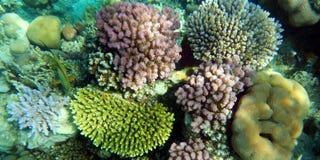 кораллы Стоковые Изображения