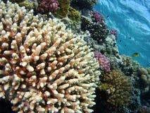 Кораллы Acropora Красного Моря Стоковое Изображение