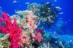 Кораллы Dendronephthya мягкие стоковое изображение