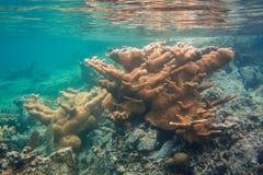 Коралл Elkhorn как раз под поверхностью Стоковая Фотография RF