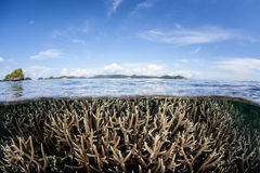 Коралл Staghorn Стоковое фото RF