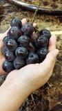 Корейские виноградины Стоковые Фотографии RF