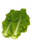 Корейский Салат-Lactuca sativa Стоковое фото RF
